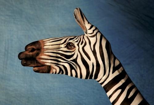 Zebra-on-blu1-499x340