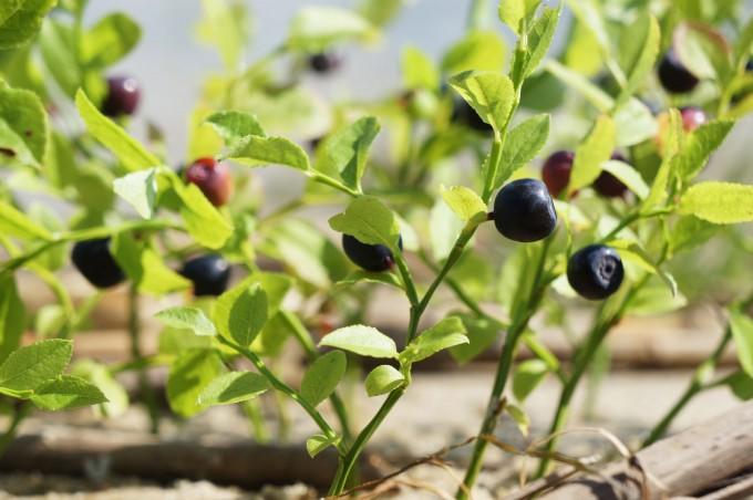 blueberries_lagoon_land_art_sm-680x452