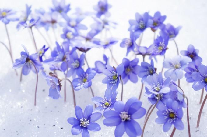 land_art_violets_snow_sm-680x452