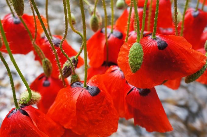 poppies_land_art_sm-680x452