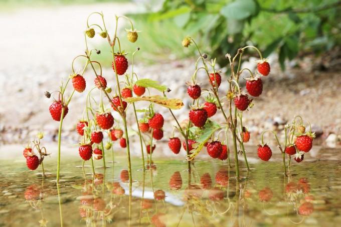 wildberries_land_art_river_sm-680x452